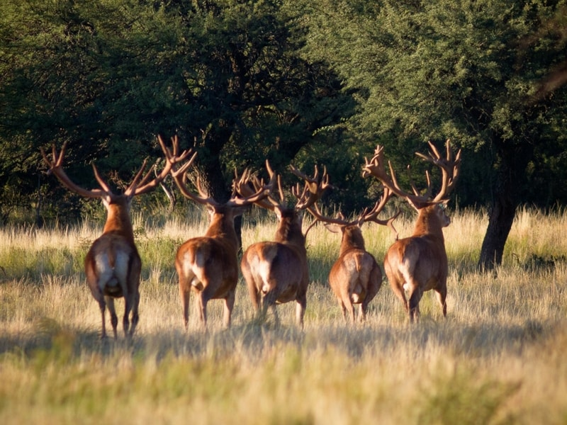 Argentina Red Stag Hunting